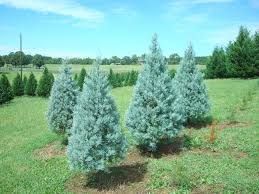 Christmas Trees Nc Blue Ice Juniper The Christmas Tree Patch