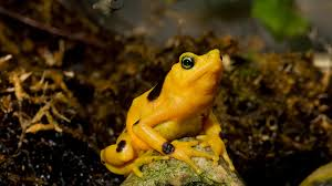 panamanian golden frog san diego zoo animals u0026 plants