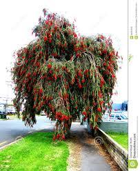 bottlebrush tree stock photo image of australia 94967458