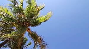 palm tree blowing in wind free stock video footage download clips