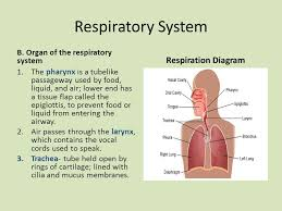 Parts Of A Tissue Major Function Of Respiratory System Parts Of The Respiratory