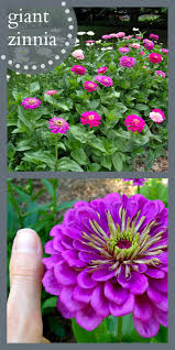 Long Blooming Annual Flowers - best flowers for all summer color lots of blooms great for
