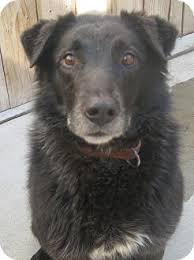 australian shepherd male names black jack adopted adopted dog chicago il labrador