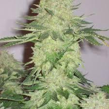Wedding Cake Kush Organic Birthday Cake Kush Clones Organic Cannabis Seeds Clones