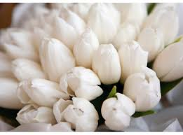 white tulips white tulips pictures photos and images for