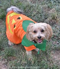 halloween costumes for yorkies dogs best 20 puppy costume ideas on pinterest puppy halloween 1197