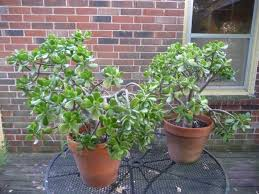 How to help a Jade plant heal Gardening & Landscaping Stack