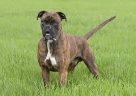 boxer dog female boxer lab mix a k a boxador u2013 breed info characteristics and