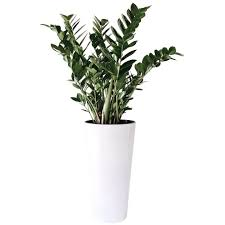 plante d駱olluante bureau plante dépolluante zamioculcas hauteur 90cm setico