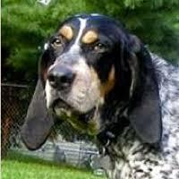 bluetick coonhound cost oregon bluetick coonhound rescue u2015 adoptions u2015 rescueme org