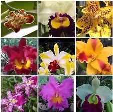 cattleya orchids cattleya orchids ebay