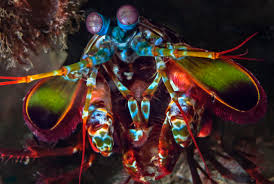 10 eye popping facts about mantis shrimp mental floss