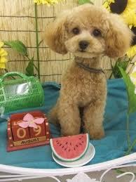 haircutsfordogs poodlemix best 25 poodle haircut ideas on pinterest poodle cuts poodles