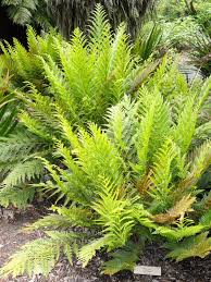 south australian native plants todea barbara wikipedia