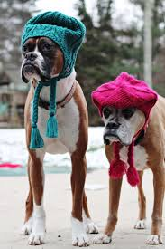 boxer dog on motorcycle 308 best wiggly boxer u003d happy heart images on pinterest