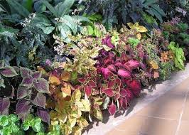 114 best leafy ornamentals images on shade plants