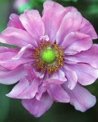 anemones flowers fall blooming anemones finegardening