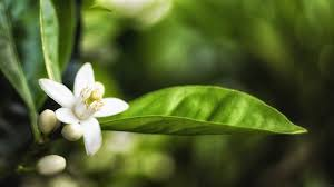 What Is Orange Flower Water - what is neroli oil and what is it used for the sleuth journal
