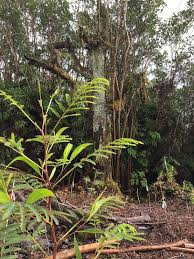rainforest native plants guest post using plant science tools to monitor and restore a
