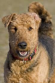 ergebnis für http www 106 best airedale terrier images on terriers doggies