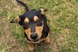 Bench Kelpie Puppies Sale Australian Kelpie