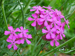 plants native to america catchfly perennials u2013 how to care for a sweet william catchfly plant