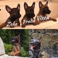 belgian sheepdog rescue trust facebook shoptaw huis kennels home facebook