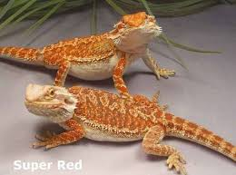 48 bearded dragons images bearded dragon