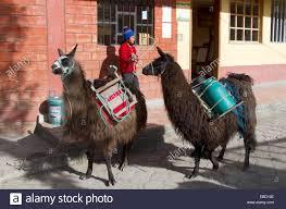 cheese delivery ecuador salinas cheese factory delivery of fresh milk with llama