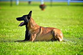 belgian sheepdog breeders ontario clubs canadian ringsport associationcanadian ringsport association
