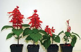 High Heat Plants Screening Bedding Plants For Heat Stress Tolerance