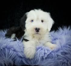 australian shepherd zu verkaufen old english sheepdog breed dog breed information u0026 pictures