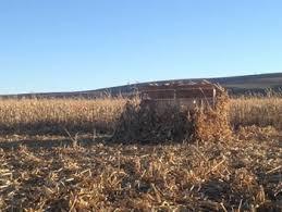 Natural Hunting Blinds Columbia Basin Corn Stubble Hunting Access Washington Department