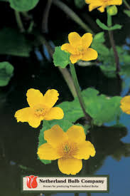 native uk pond plants 137 best marginal plants images on pinterest pond plants water
