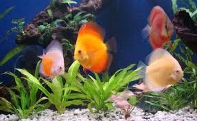 offerhut lk ornamental fish sri lankan best offer 822017 05 22 04 12 15182 jpg
