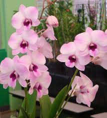 dendrobium orchid hawaiian blooming orchids with our aloha
