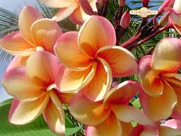 plumeria i have this tattoo on my foot that looks like it was