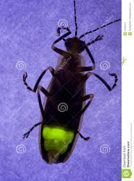 flashing firefly lightning bug stock image image 21359371