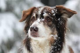 australian shepherd club of america why do aussies love snow so much australian shepherd club of