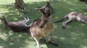 petting kangaroos and wallabies at the australia zoo youtube