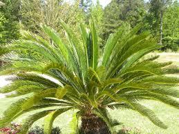 palm trees descriptions photos advices videos home design