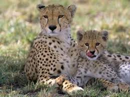 animal print l shades cheetah mother and cub resting in shade together photographic print