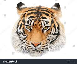 tiger head hand draw paint color stock illustration 508640131