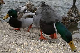 what to feed ducks the most nutritious foods