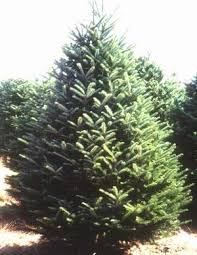 fraser fir tree tree information weir tree farms colebrook new hshire