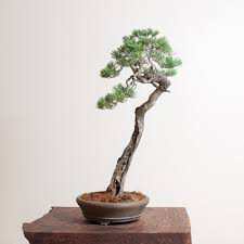 136 best bonsai images on pinterest bonsai trees bonsai art and
