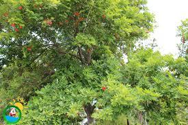 Ackee Fruit Tree - ackee tree u2013 taste of jamaica tours