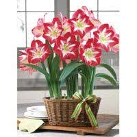 picotee peppermint amaryllis 2 in 1 container from breck s gifts