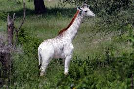 are you having a giraffe incredible pictures of a rare white
