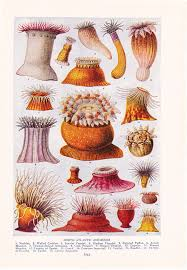 1947 sea anemone print vintage antique home decor art